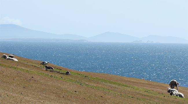 falkland-island-sheep-yarn-wool-penguin-geese