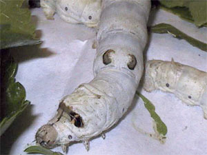 picture of silkworm